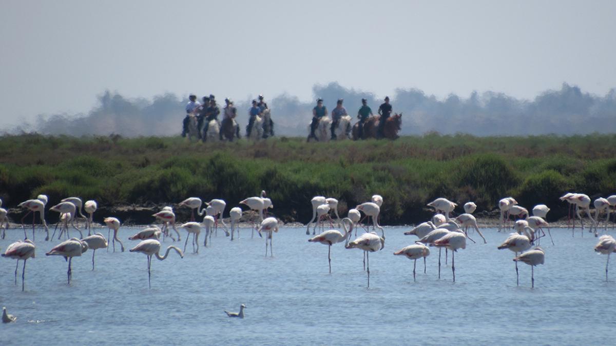 dl: rosa Flamingos an der Petit Rhône