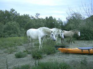 dl: Weiße Pferde an der Petit Rhône beschnuppern Kajaks